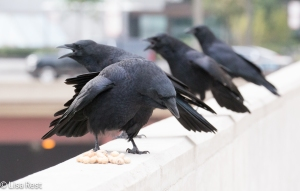 Crows on the Ledge 9-28-15 -2843