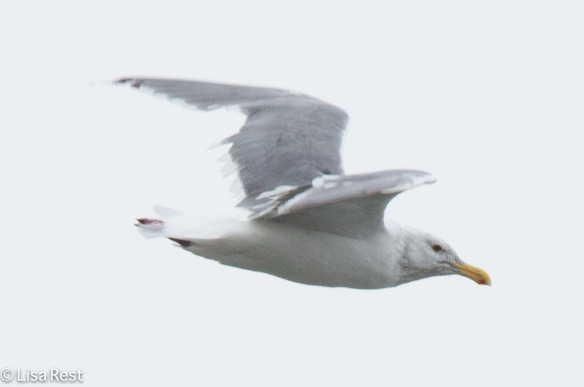 Adult Non-Breeding Glaucous-Winged Gull