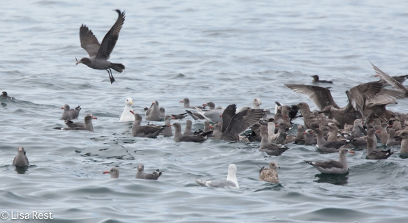 Gulls 9-17-15-1589