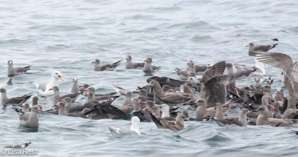 Gulls 9-17-15-1590