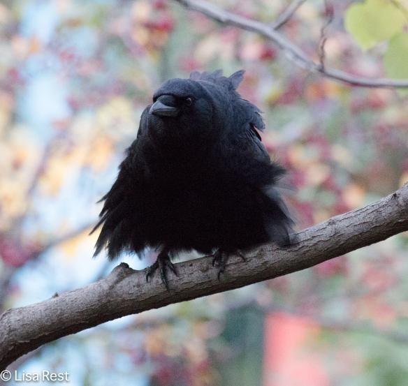 Happy Halloween Crow 10-30-15 -6402
