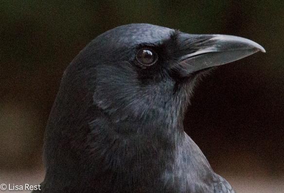 Happy Halloween Crow 10-30-15 -6404