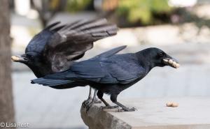 Happy Halloween Crow 10-30-15 -6483