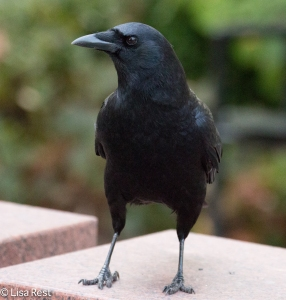 Happy Halloween Crow 10-30-15 -6512