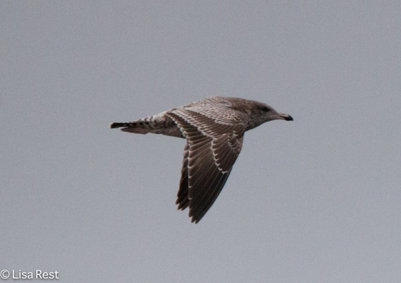 First-Cycle California Gull 9-17-15 -2188