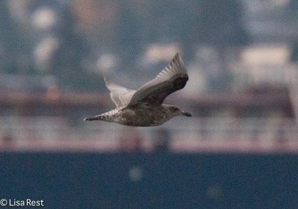 Poss Western Gull 9-17-15 -2172
