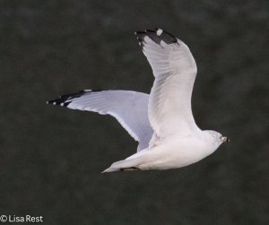 Ring-Billed Gull 9-14-15 -1686