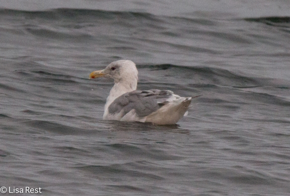 Western Gull 9-17-15 -2187