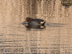 Green-Winged Teal Chicago Portage 11-15-2015 -7223