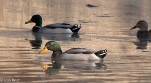 Mallards Chicago Portage 11-15-2015 -7124