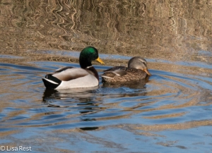 Mallards Chicago Portage 11-15-2015 -7265