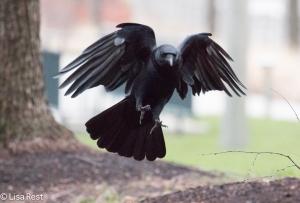 Crow Millennium 12-3-2015 -7997