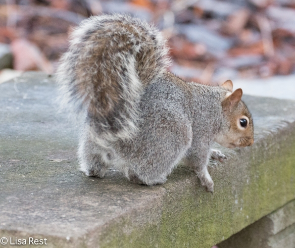 Gray Squirrel 12-27-2015 -8414