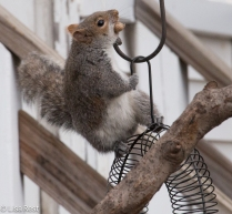 Squirrel 12-27-2015 -8814