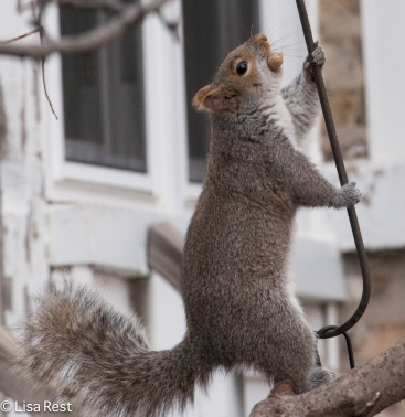 Squirrel 12-27-2015 -8817