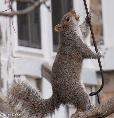 Squirrel 12-27-2015 -8817