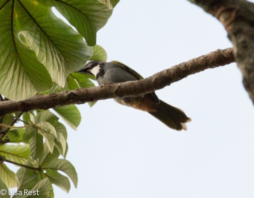 Black-headed Saltator 02-23-2016-4253