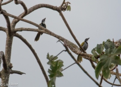 Black-headed Saltator 02-23-2016-4271