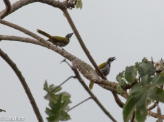 Black-headed Saltator 02-23-2016-4273