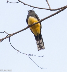 Black-Headed Trogon 2-23-15-3953