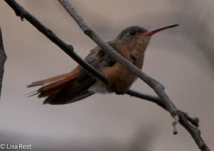 Cinnamon Hummingbird 2-21-15-2455