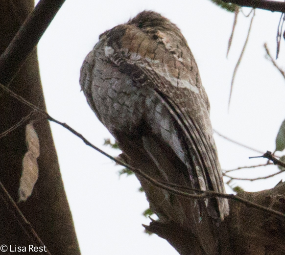 Common Potoo 02-23-2016-3934