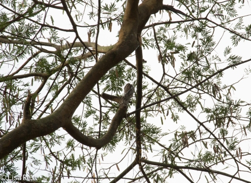Find the Potoo 02-23-2016-3922