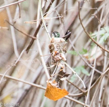 Hummer on Nest 02-23-2016-4173
