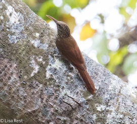 Ivory-Billed Woodcreeper 02-23-2016-4044