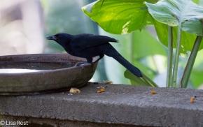 Melodious Blackbird 02-23-2016-4312