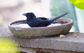 Melodious Blackbird 02-23-2016-4321