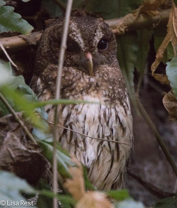 Mottled Owl 02-22-2016-2628