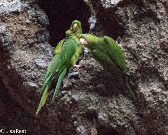 Pacific Parakeets 02-22-2016-2699