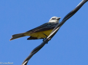 Tropical Kingbird 02-23-2016-4230