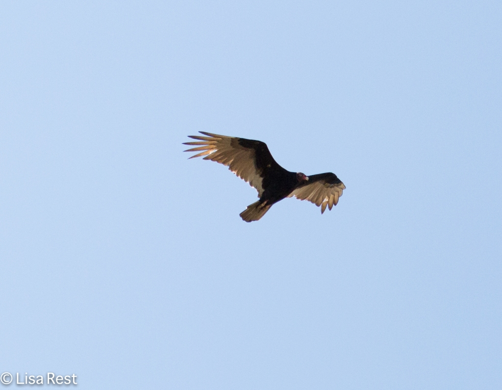 Turkey Vulture 02-23-2016-4217