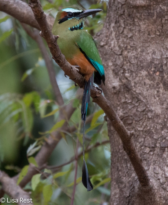 Turquoise-Browed Motmot 2-21-15-2433