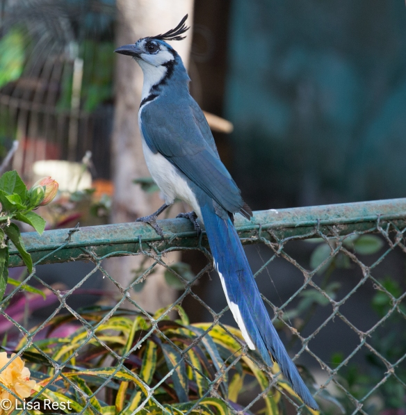 White-Fronted Magpie Jay 2-26-15-4625