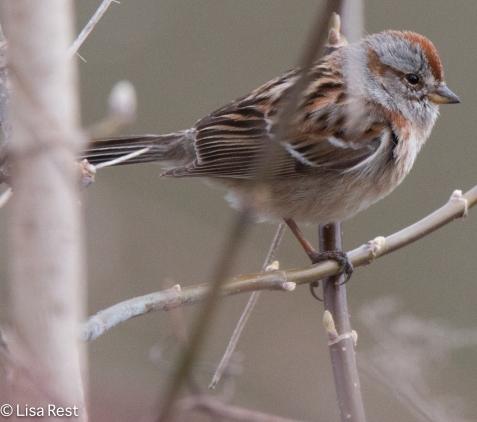 American Tree Sparrow 04-03-2016-5049