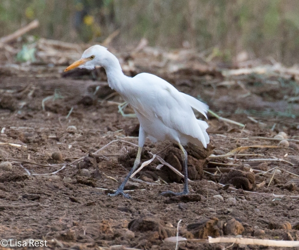 Cattle Egret 02-26-2016-4755
