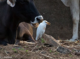 Cattle Egret 02-26-2016-4760
