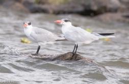Common Tern 02-25-2016-3250