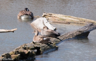 Another view of the Goose and the two female ducks
