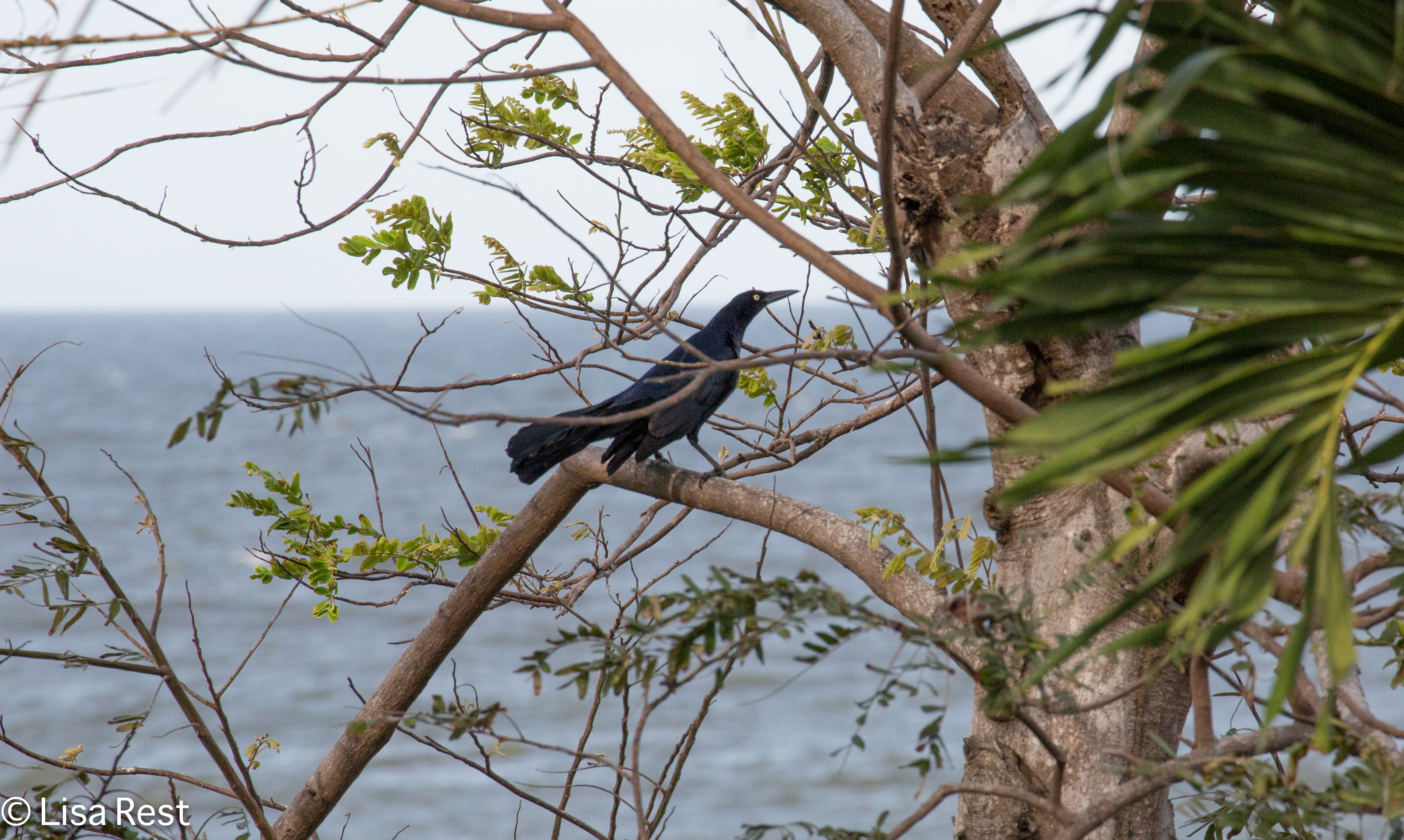 Great-Tailed Grackle 02-26-2016-4656