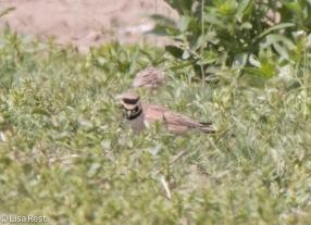 Horned Lark Orland Grasslands 4-23-2016-7061