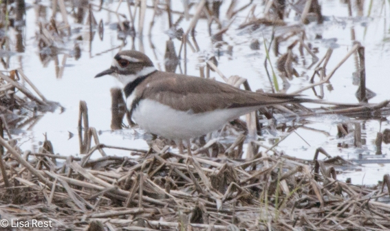 Killdeer Orland 4-23-2016-7096