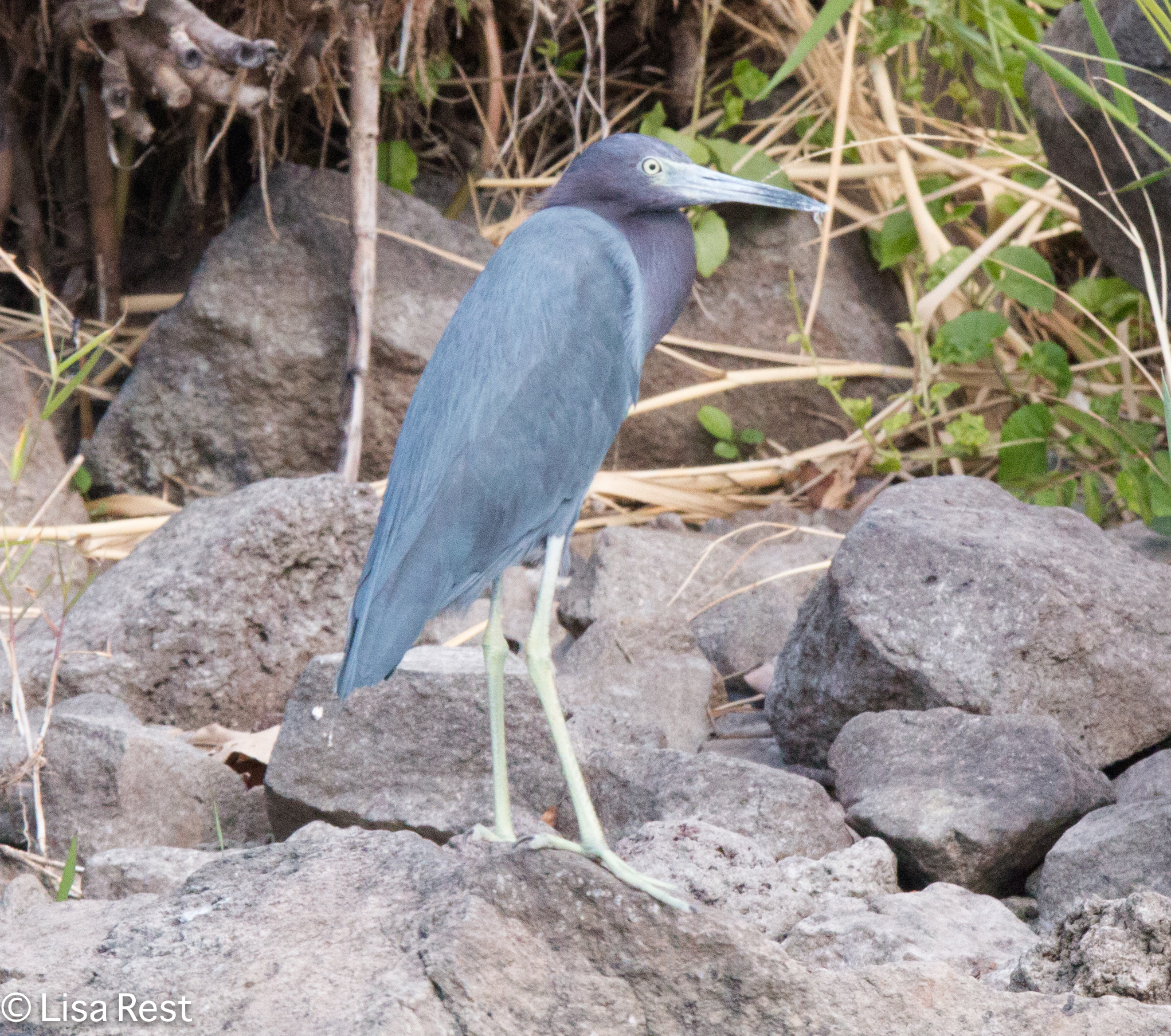 Little Blue Heron 2-25-15-2996