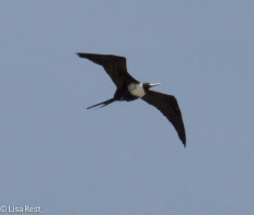 Magnificent Frigatebird 02-26-2016-4442