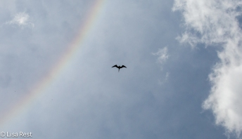 Magnificent Frigatebird and Rainbow 02-26-2016-4417