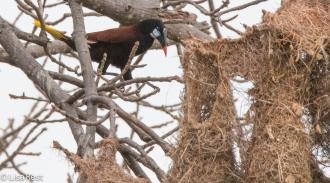 Montezuma Oropendola at Nest 02-25-2016-3182