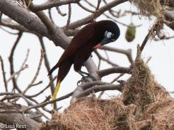 Montezuma Oropendola at Nest 02-25-2016-3187